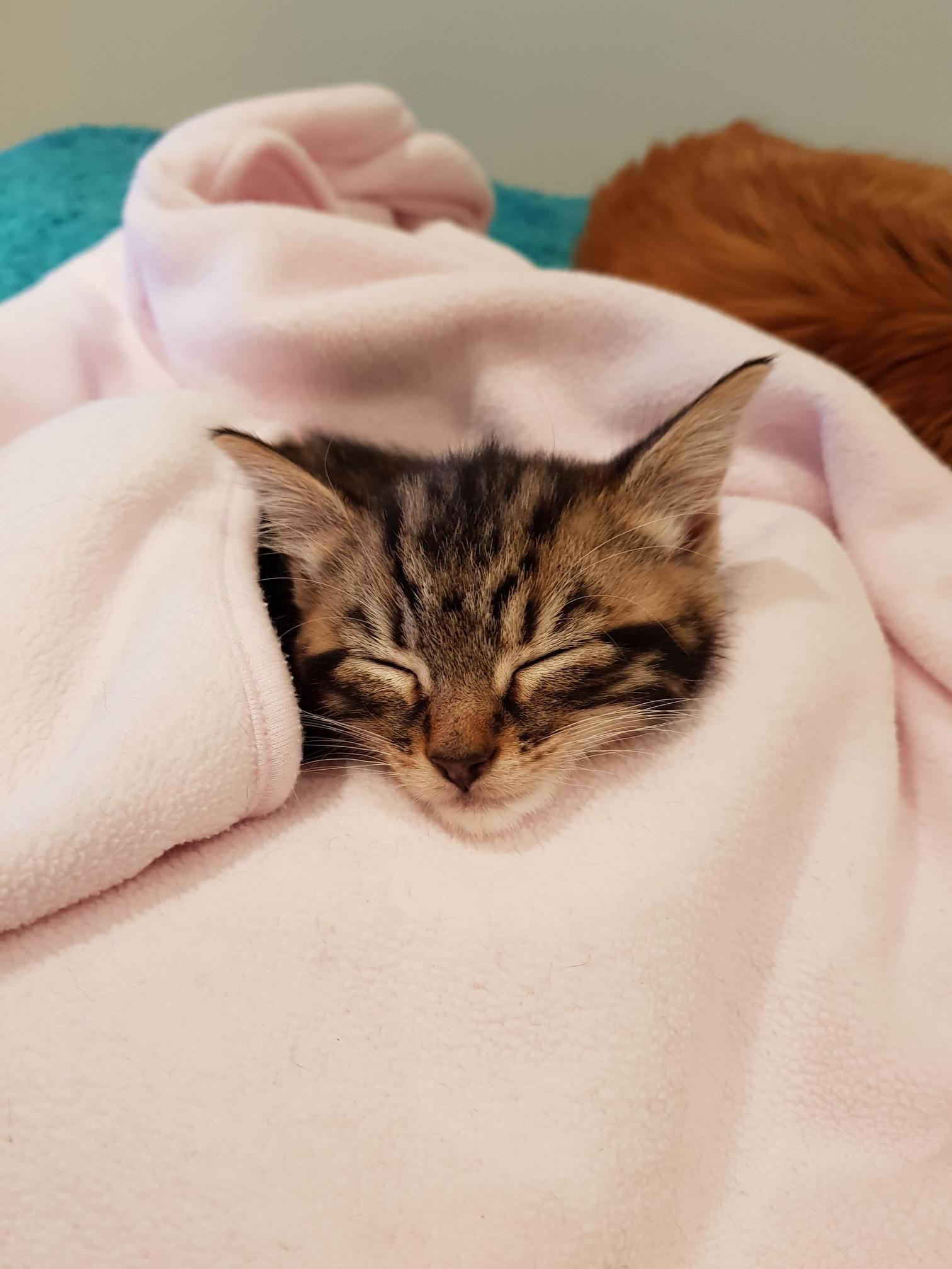 Teddy kitten homed by Cat Call