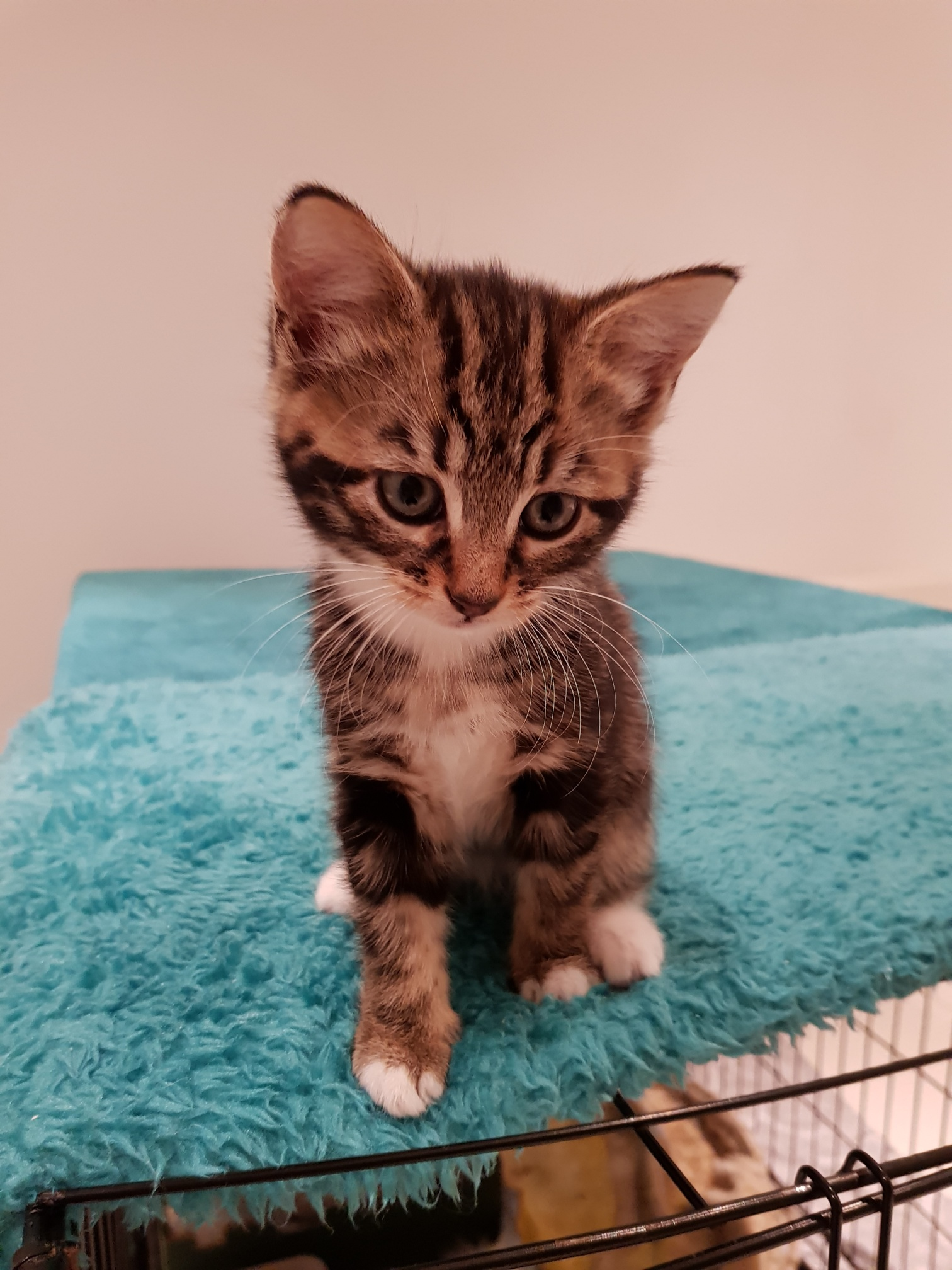 Teddy kitten homed
