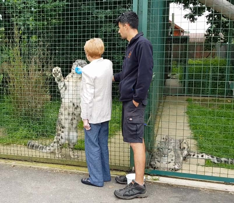 Cat Call volunteer Eileen feeds a snow leopard
