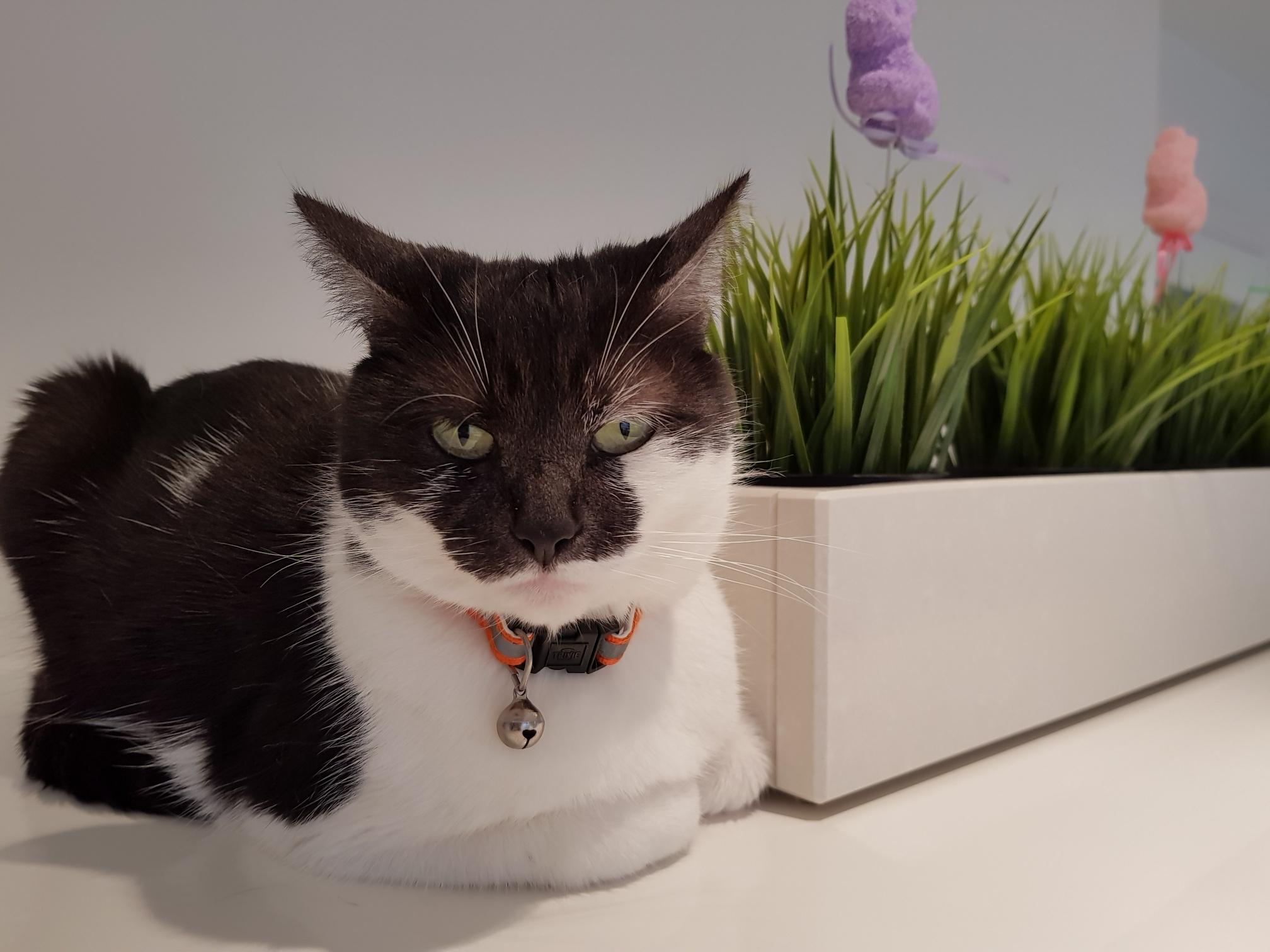 Tinkerbelle Cat